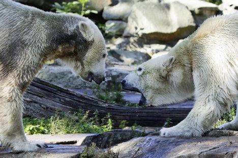 DEU BB Zoo Eisbaer Knut Giovanna
