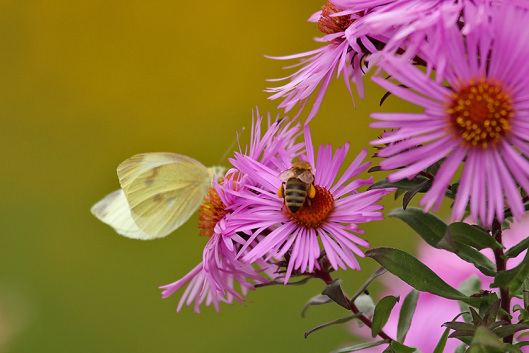 Herbst - Herbstbunt - Kohlweißling, Biene